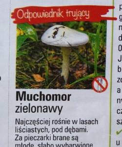 muchomor zielonawy 2